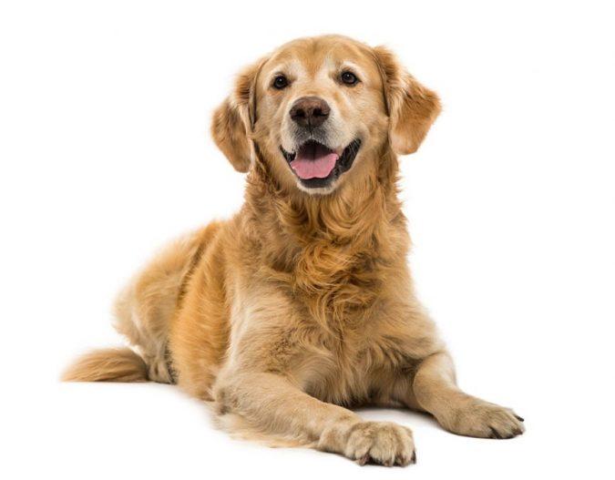 دیسپلازی مفصل لگنی - رانی در سگ ها