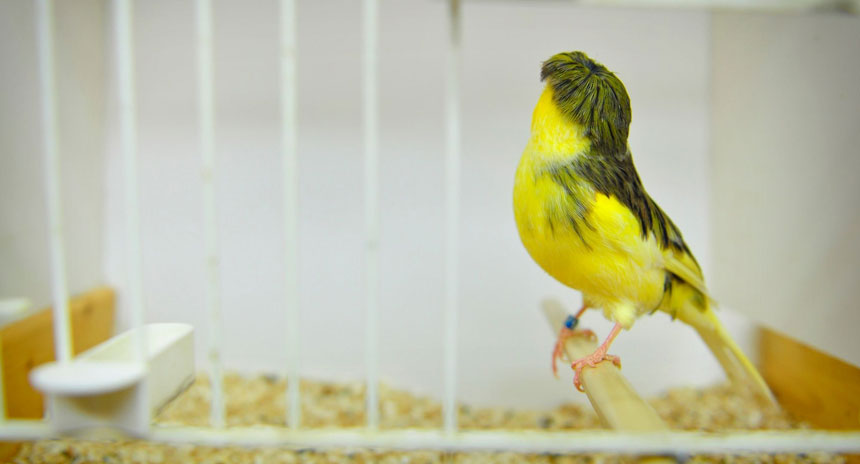 canary-crest