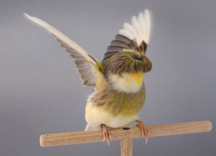 canary-gloster