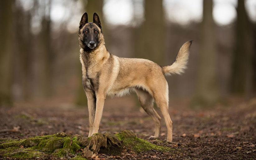 belgian malinois dog 1