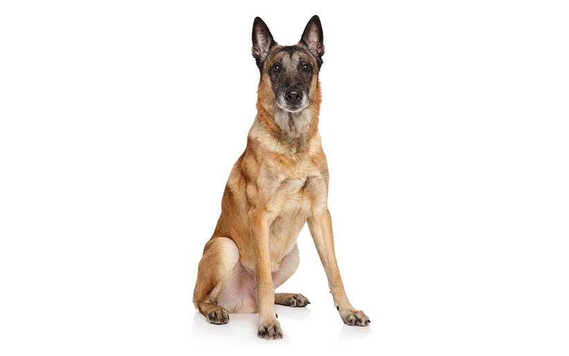 معرفی سگ بلژین مالینویز + خصوصیات نژادی و تواناییها