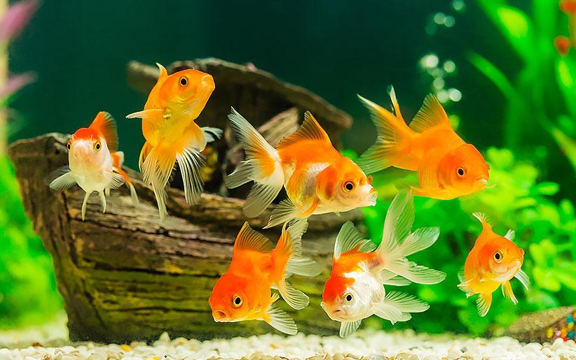 ماهیهای زینتی قرمز داخل آکواریوم