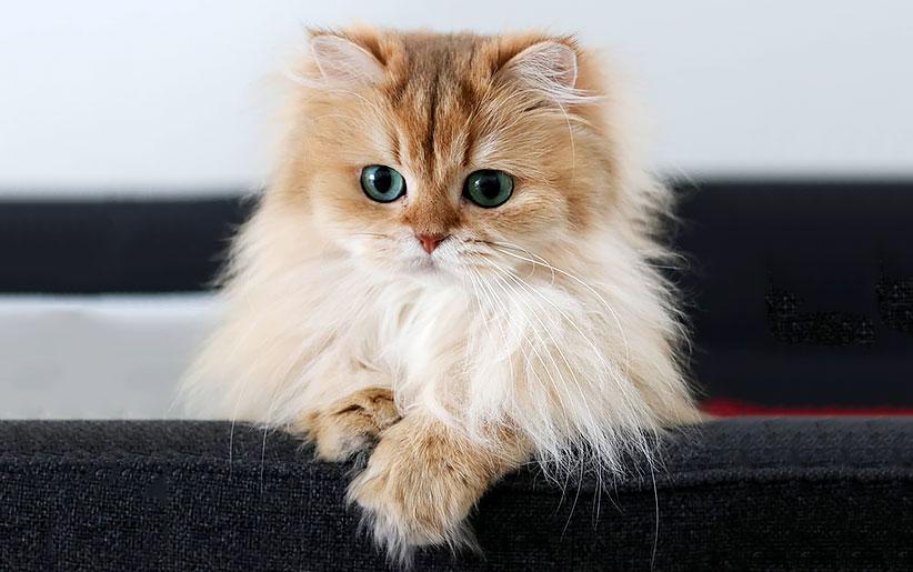گربه ایرانی یا پرشین کت [انواع این نژاد]