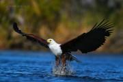 کلیپی از شکار ماهی به دست عقاب