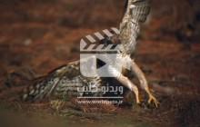 ویدئو کلیپ قوش آفریقایی