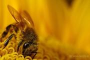 فیلم فوق العاده تغذیه زنبور عسل از گل ها