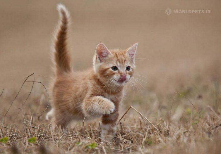 چرا گربه ام پنجه هایش را روی سطوح می کشد | دنیای حیوانات