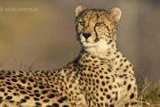 فیلم شکار میمون باردار به دست پلنگ چیتا