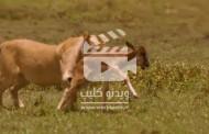 ویدئو کلیپ شکار بی رحمانه شیرها