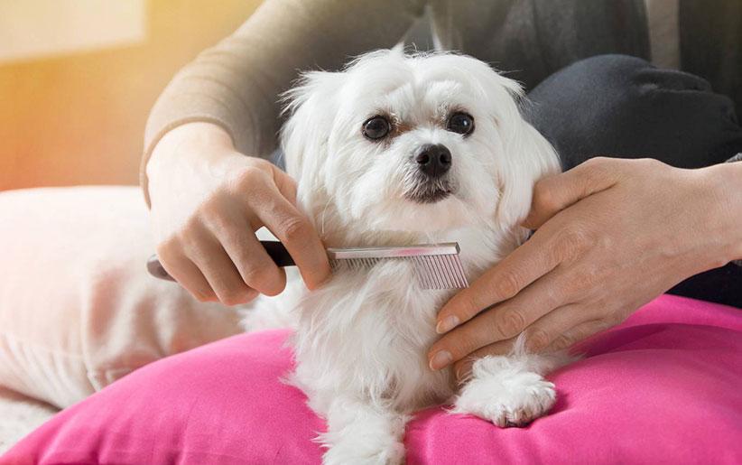 شانه کردن موهای سگ نژاد مالتیز