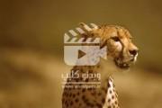 چیتا شکارچی ای با سرعت فوق العاده