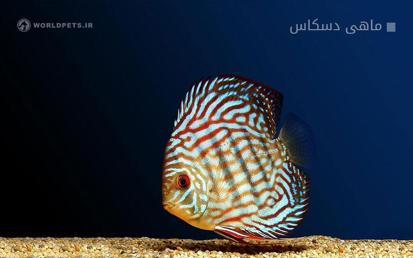 ماهی دسکاس