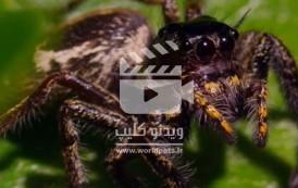 ویدئو کلیپ آخوندک کونگ فو کار در مقابل عنکبوت جهنده