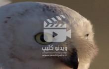 ویدئو کلیپ جدال جغد در مقابل گرگ