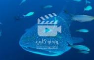 یک کوسه ماهی که برای نجات خودش با غواص همکاری می کند