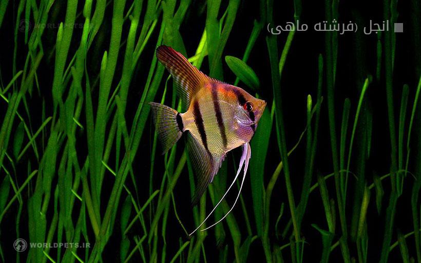 انجل (فرشته ماهی)