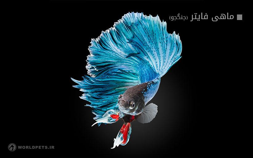 ماهی فایتر (جنگجو)