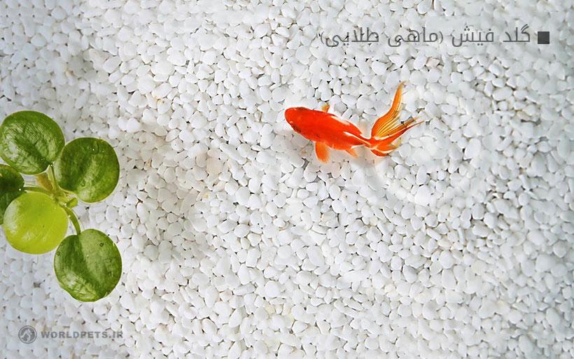 گلد فیش (ماهی طلایی)