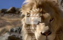 ویدئو کلیپی از گلچین صحنه های مبارزه و شکار حیات وحش