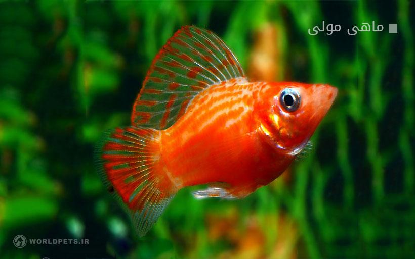 ماهی مولی