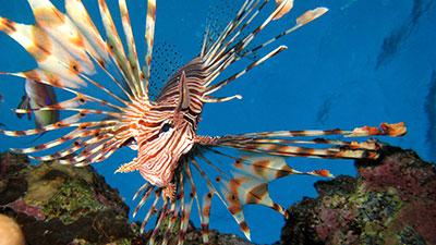 کاربرد آنتیبیوتیکها در پرورش ماهیان زینتی