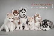 راهنمای خرید توله سگ(پاپی)