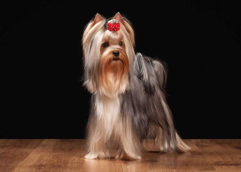 سگ یورکشایر تریر