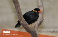 مرغ مینای گوشواره ای معروف به پرنده سخنگو