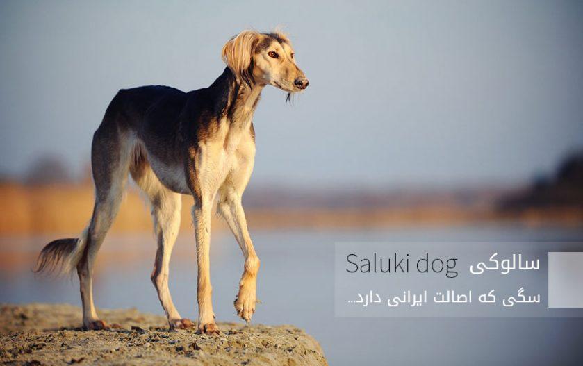 سالوکی (تازی)