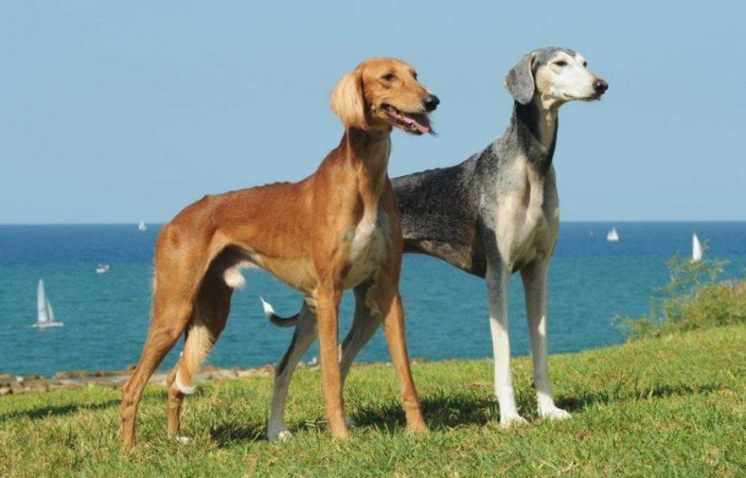 سگ تازی ایرانی