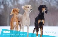 سالوکی (تازی) سگی که اصالت ایرانی دارد