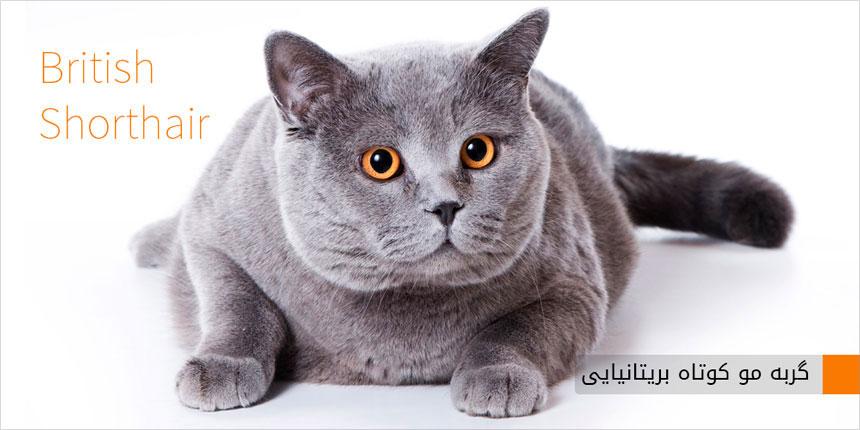 گربه مو کوتاه بریتانیایی