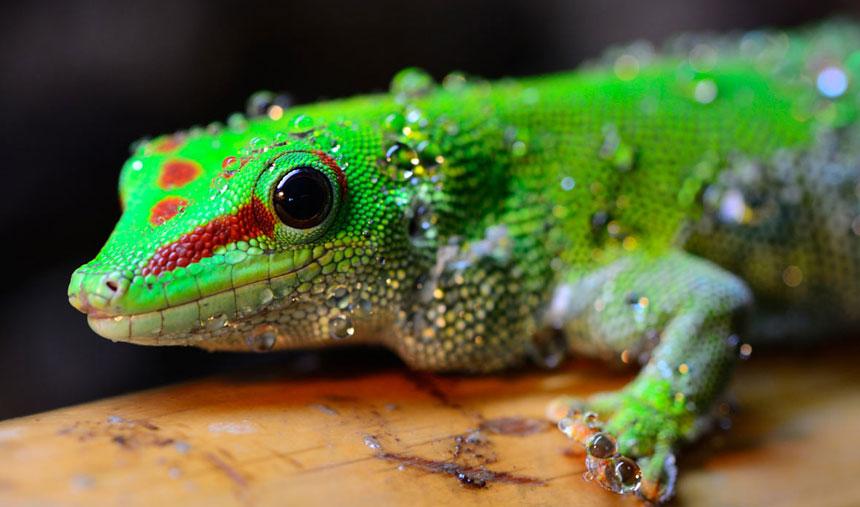 gargoyle-gecko-2