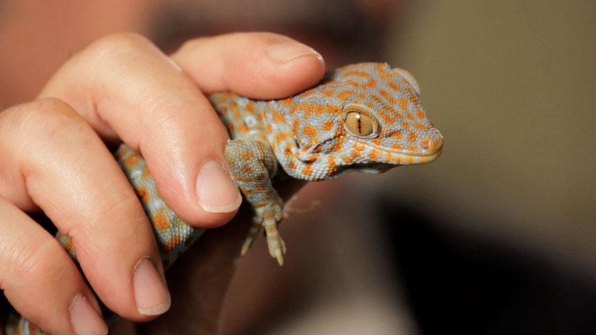 gargoyle-gecko-3