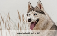 آموزش سگ هاسکی سیبرین