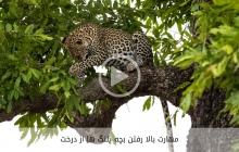 مهارت  فوق العاده ی بالا رفتن بچه پلنگ ها از درخت