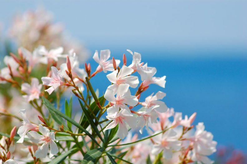 oleander-3