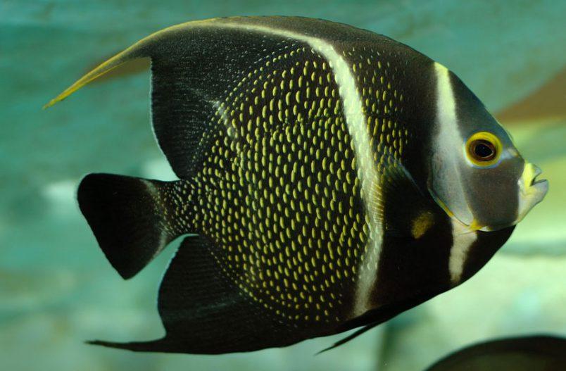 pomacanthus-arcuatus