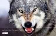 چگونه از حمله گرگ نجات پیدا کنیم