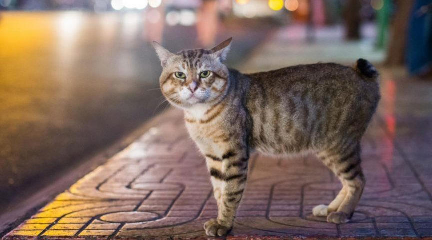 گربه مانکس