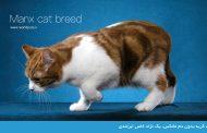 گربه بدون دم مانکس، یک نژاد خاص ایرلندی