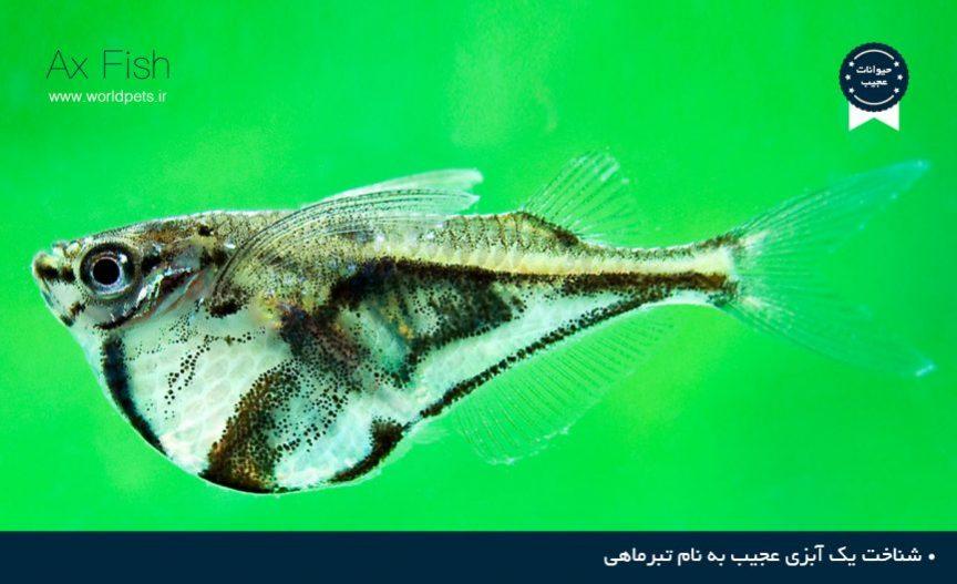 تبر ماهی