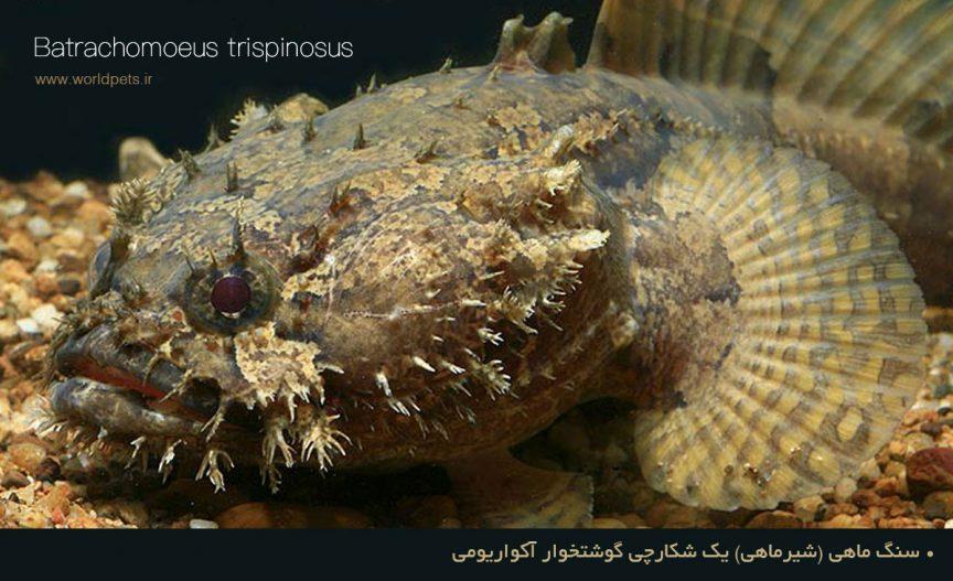 سنگ ماهي (شیرماهی) یک شکارچی گوشتخوار آکواریومی