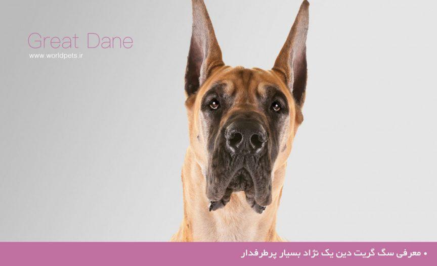 معرفی سگ گریت دین یک نژاد بسیار پرطرفدار