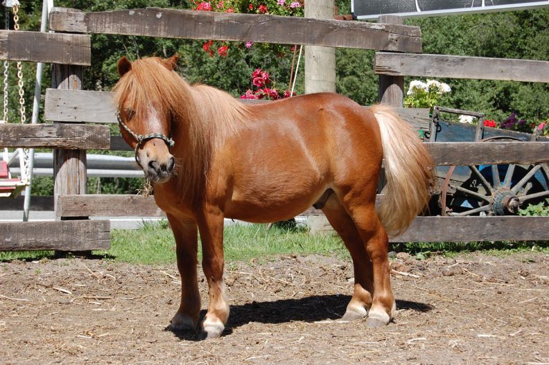 معرفی اسب پونی، یک نژاد بسیار زیبا