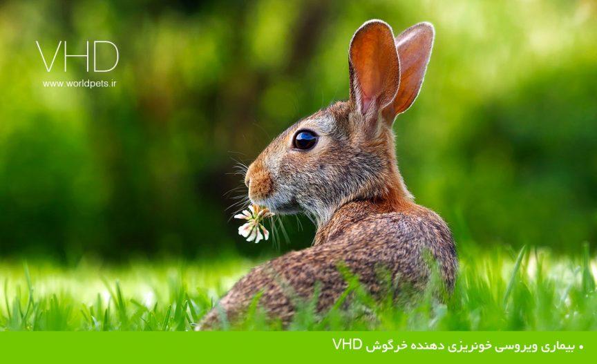 بيماري ويروسي خونريزي دهنده خرگوش VHD