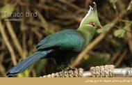 توراکو پرندهای معروف به مرغ بهشتی