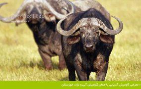 معرفی گاومیش آسیایی یا همان گاومیش آبی و نژاد خوزستان