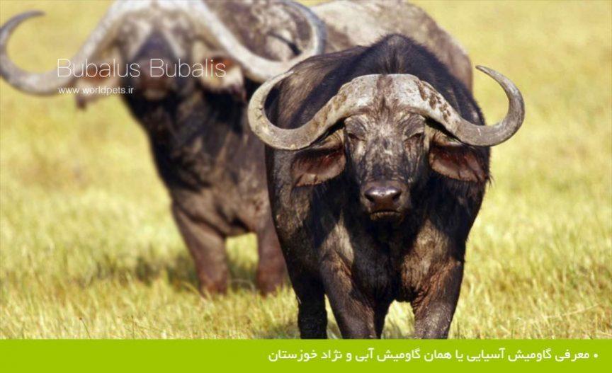 گاومیش آسیایی یا همان گاومیش آبی و نژاد خوزستان