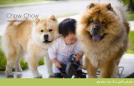 معرفی کامل سگ نژاد چاو چاو